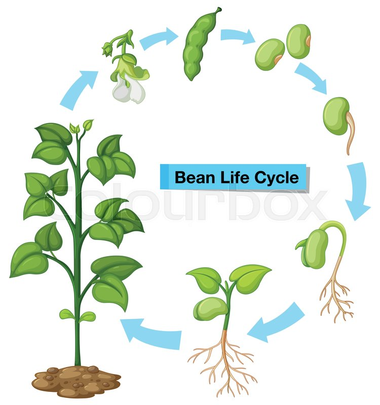 Diagram Showing Bean Life Cycle Stock Vector Colourbox