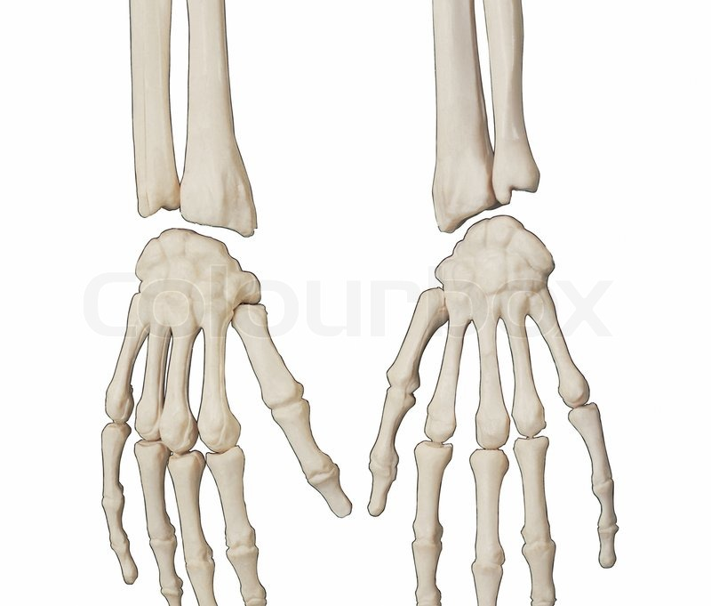 Medical illustration of bones of the human hands isolated on white ...