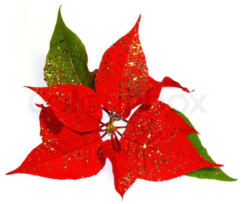 red poinsettia christmas flower with golden decoration - Red Christmas Flowers