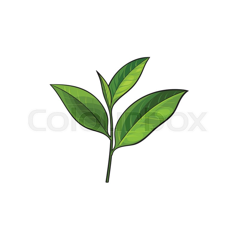 Vector Sketch Cartoon Style Green Tea Leaves Branch Isolated