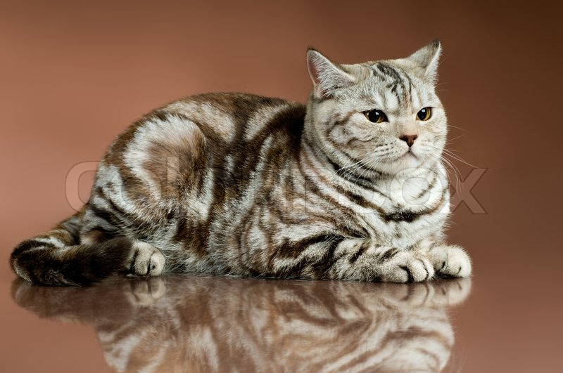 The fluffy brown beautiful adult cat, ... | Stock image ...