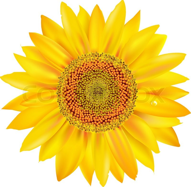 Sunflower Petals Closeup, Isolated On White Background ...