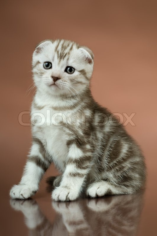 the fluffy striped gray beautiful kitten breed scottish fold stock photo colourbox. Black Bedroom Furniture Sets. Home Design Ideas