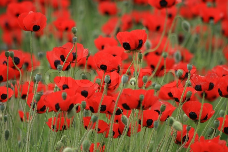 Nice red poppy flowers as spring background stock photo colourbox mightylinksfo