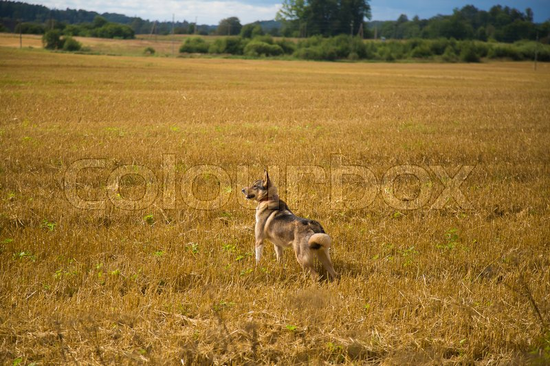 A friendly wolf like hunting dog enjoying free time in the field. Dog walk in the countryside, stock photo