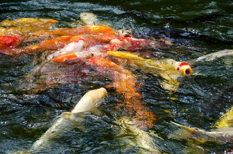 Japanese koi swimming in water and fighting for food for Koi swimming pool