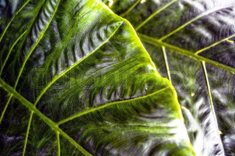 Green dark leaf texture. Leaf texture background, stock photo