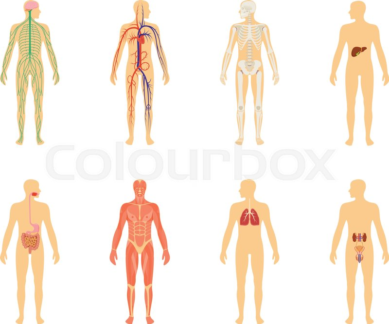 Human anatomy set of vector illustration isolated on white human anatomy set of vector illustration isolated on white background human body structure skeleton and circulatory vascular system ccuart Image collections