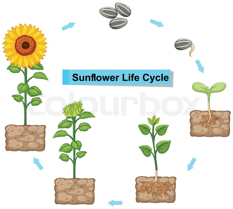 Diagram showing life cycle of sunflower illustration | Stock Vector ...