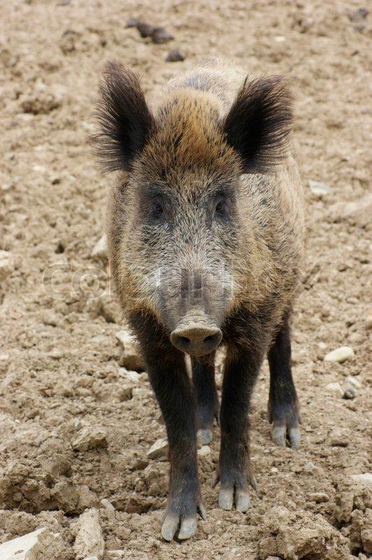 Frontal portrait of a wild boar in earthy ambiance | Stock Photo ...