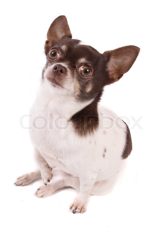 brown and white chihuahua white and brown chihuahua on the white background stock 6666
