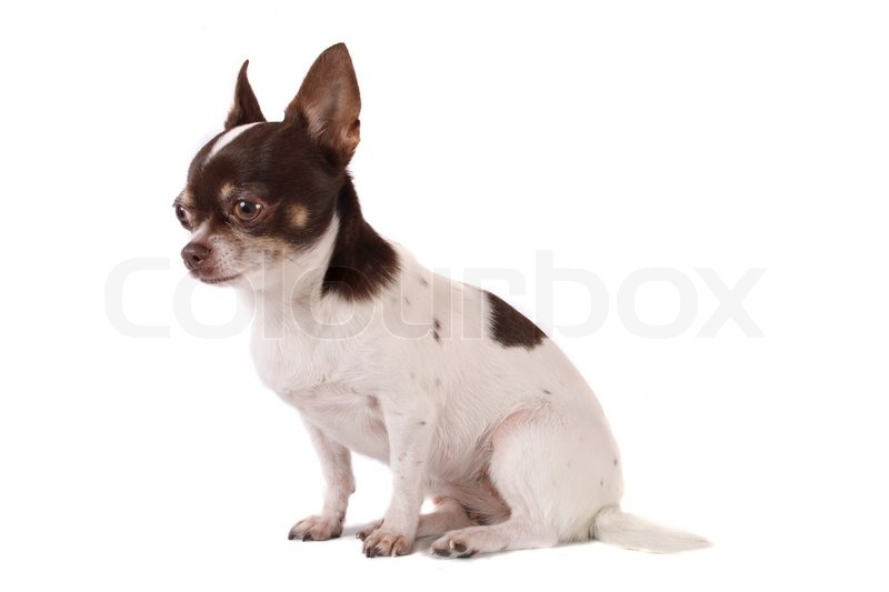 brown and white chihuahua white and brown chihuahua on the white background stock 2216