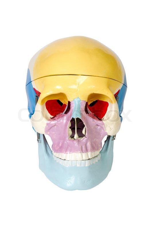 Menschlicher Schädel , Anatomie Modell, isoliert auf weiß ...