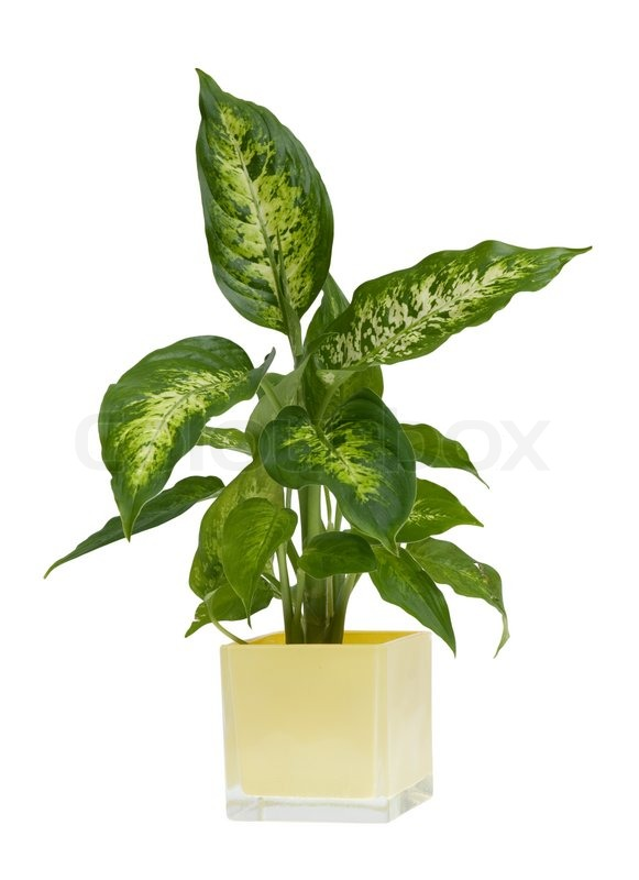 Houseplant Yellow And Green Leaves on yellow and green interior design, yellow and green evergreen, yellow and green tree, yellow and green tomatoes, yellow and green garden, yellow and green vine, yellow and green food, yellow and green grass, yellow and green herbs, yellow and green perennial, yellow and green hedge,