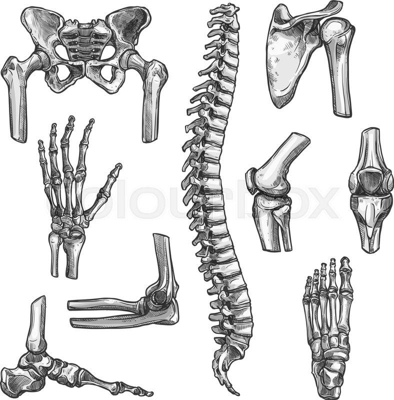 Bone and joints sketches set. Human skeleton hand, knee and shoulder ...