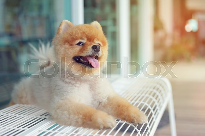 Cute pomeranian dog smiling, happy pet laying on chair waiting owner in cafe, stock photo