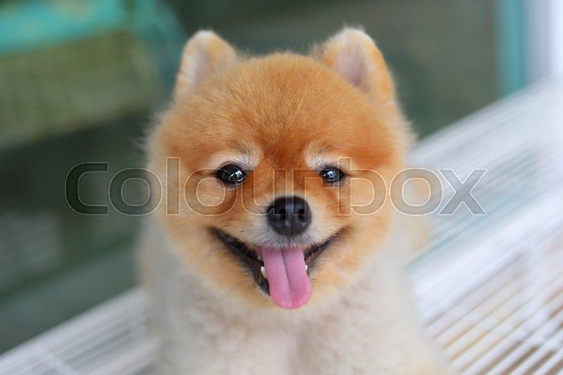 Happy pomeranian dog smiling, small cute pet friendly, stock photo