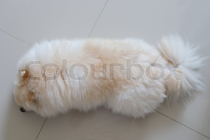 White pomeranian dog fluffy hair softness, pets grooming care hairstyle, stock photo