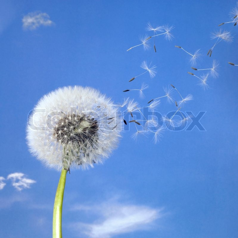 dandelion blowball and flying seeds stock photo colourbox