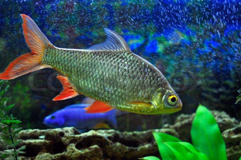 Aquarian small fish stock photo colourbox for Fish 2 flirt