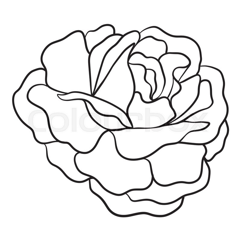 Camellia Flower Line Drawing : Isolated rose outline drawing stock line vector