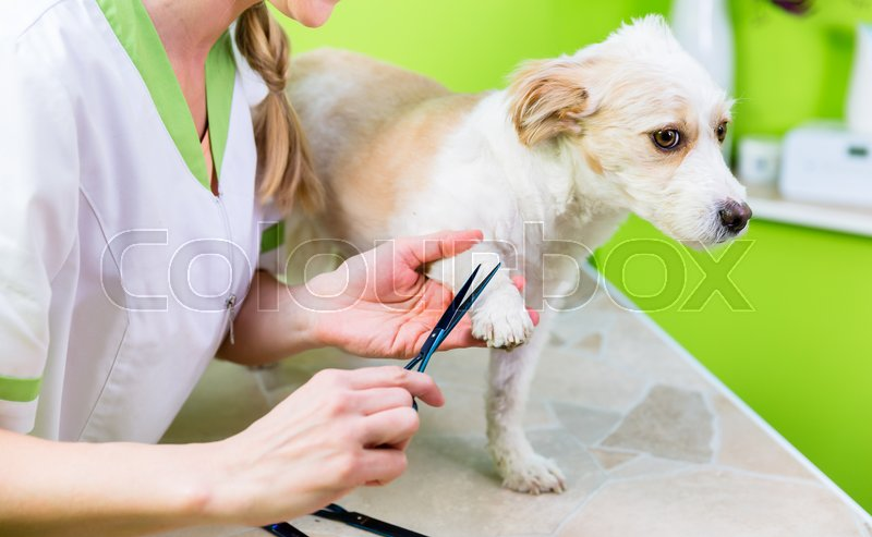 Pedicure for little dog in pet grooming parlor, woman is cutting his paws, stock photo