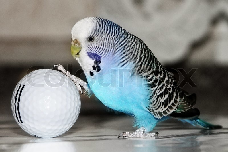 Blue Budgie Baby Blue Budgie Playing Football