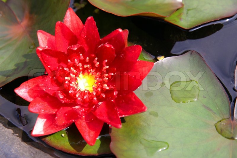 Red lotus blooming in the tropical garden stock photo colourbox mightylinksfo