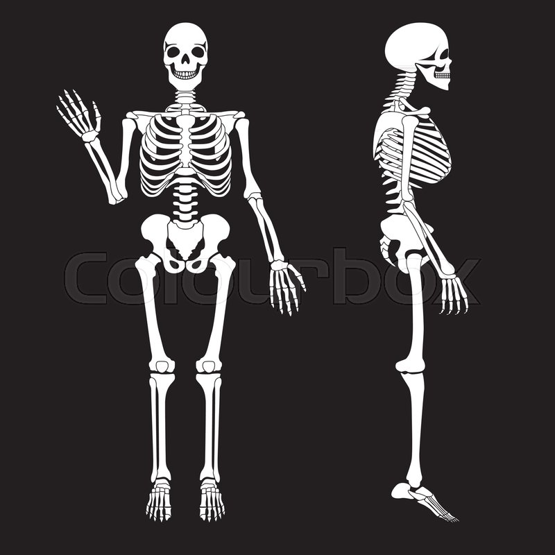 Human bones skeleton silhouette vector. Anatomy of human body ...
