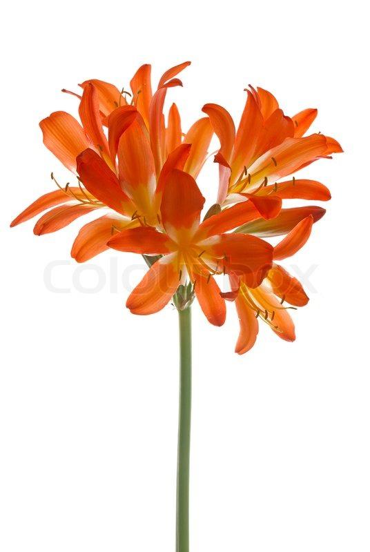Orange lilly flower on isolated on white background stock photo orange lilly flower on isolated on white background stock photo colourbox mightylinksfo