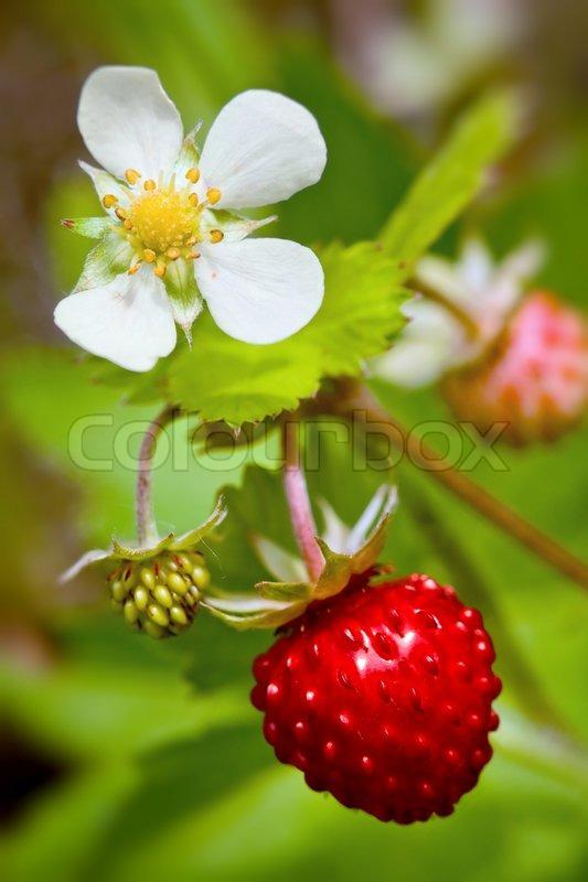 Strawberry Plant Leaves