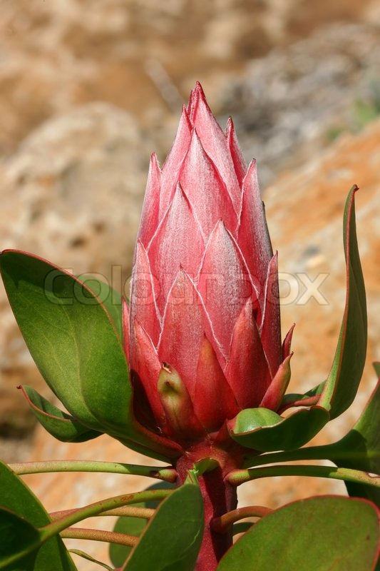 King protea bud has beautiful pink flowers with a silvery white king protea bud has beautiful pink flowers with a silvery white feathery sheen leaves and stems are also edged in pinky red proteas are tough mightylinksfo