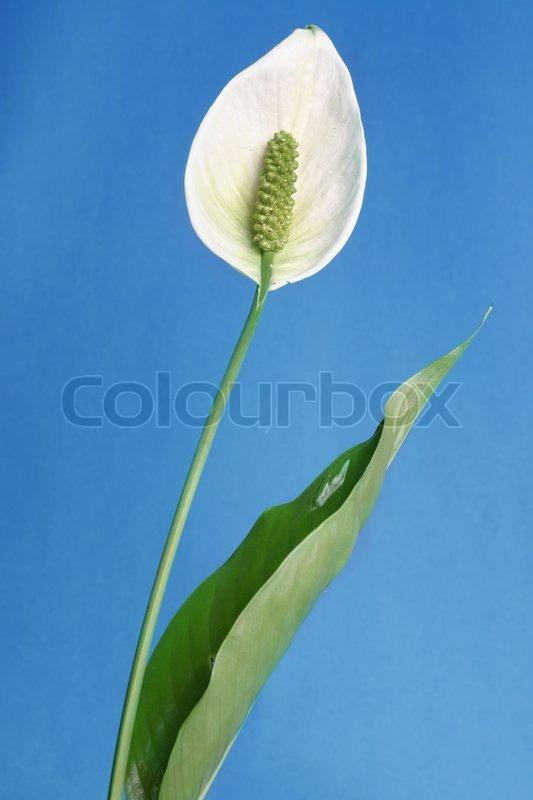 frieden lilien sind robuste pflanzen mit gl nzenden bl tter dunkelgr n oval dass schmale bis. Black Bedroom Furniture Sets. Home Design Ideas