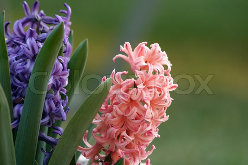 Pink and purple hyacinth blooms in the garden hyacinth are spring pink and purple hyacinth blooms in the garden hyacinth are spring flowering bulbs with spikes of heavily fragrant waxy flowers leaves are deep green mightylinksfo