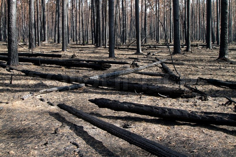 Burnt, charred trees after a forest fire | Stock Photo ...