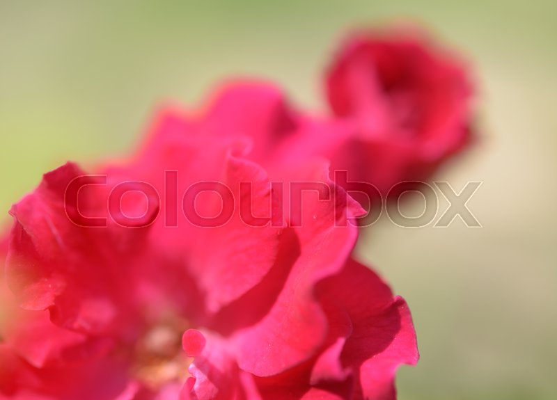 Stock image of 'Close up beautiful pink roses petal flower soft background'