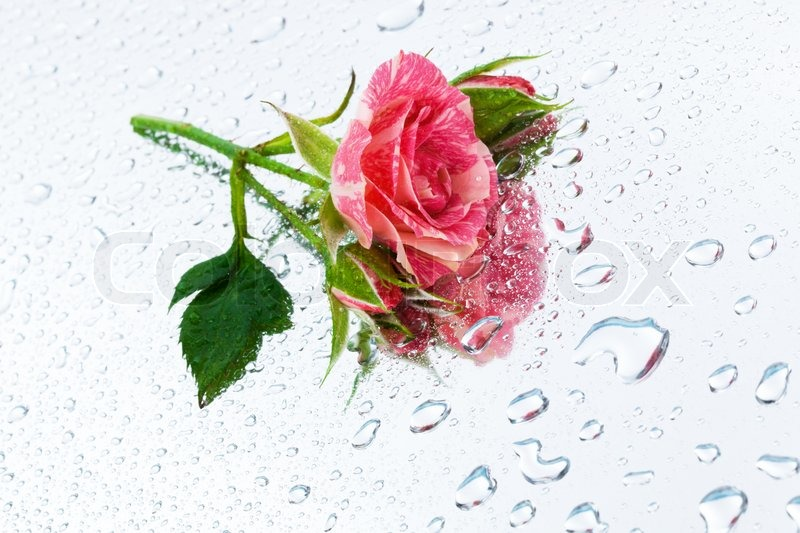 Wallpaper Single Red Rose Flower Water Drops 1920x1200 Hd: Pink Rose On The Mirror With Water Drops