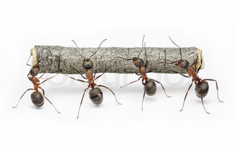 Team von ameisen f hrt protokoll arbeiten zusammen stockfoto colourbox - Bicarbonate de soude fourmis ...