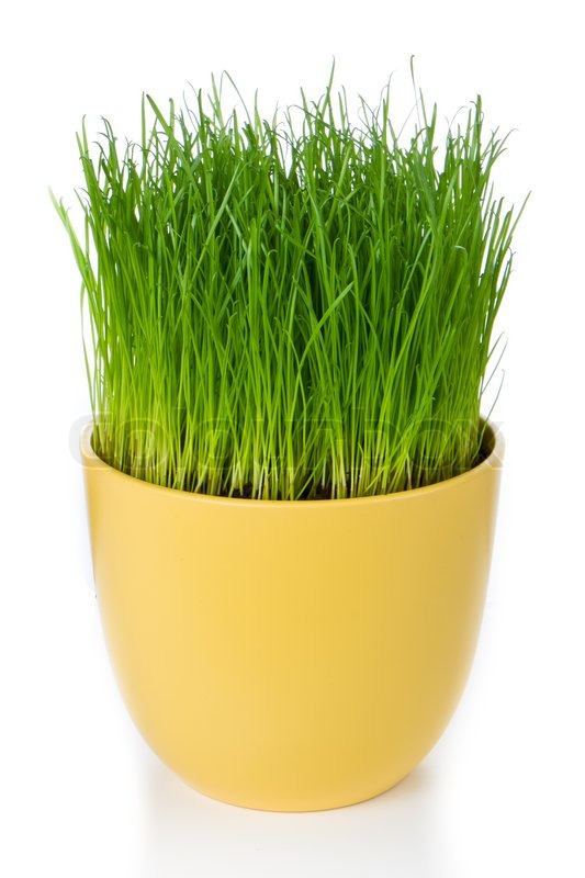 sc 1 st  Colourbox & Grass in flower pot isolated on white   Stock image   Colourbox
