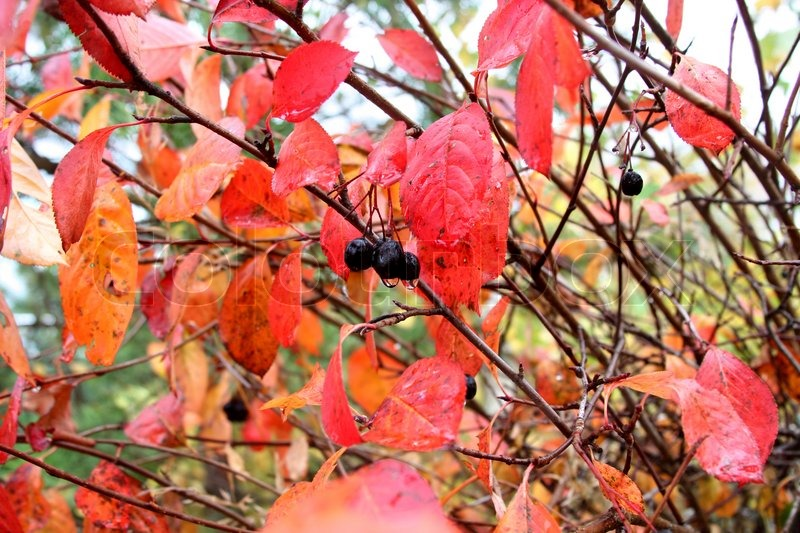 red autumn leaves and berries of black chokeberry stock. Black Bedroom Furniture Sets. Home Design Ideas