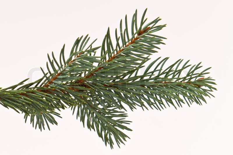 branch of christmas tree on white background stock photo colourbox - Branch Christmas Tree