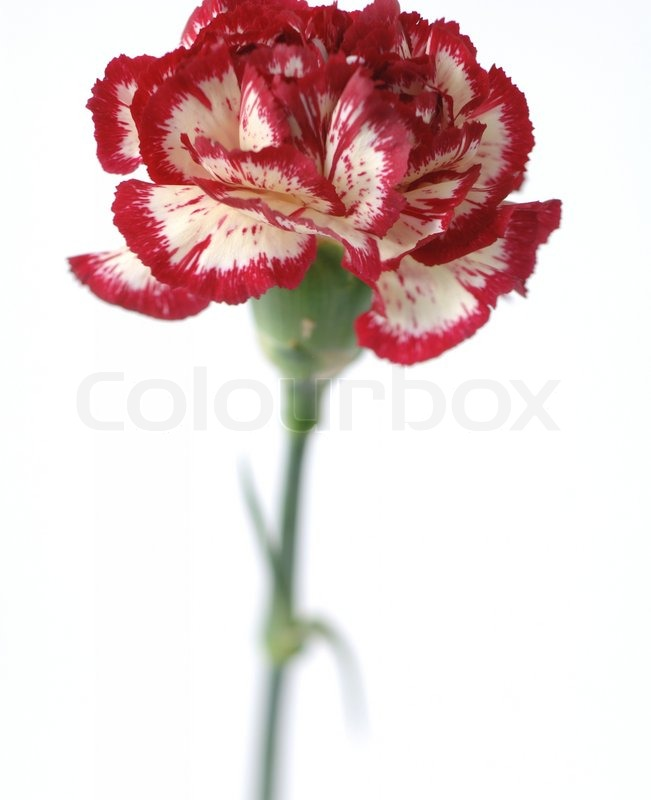 Variegated Carnation  Close