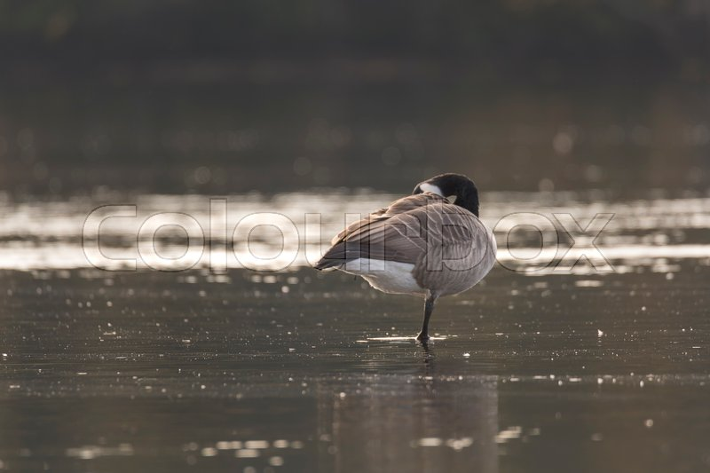 Canada Goose Standing on One Leg in water pluming its feathers, stock photo