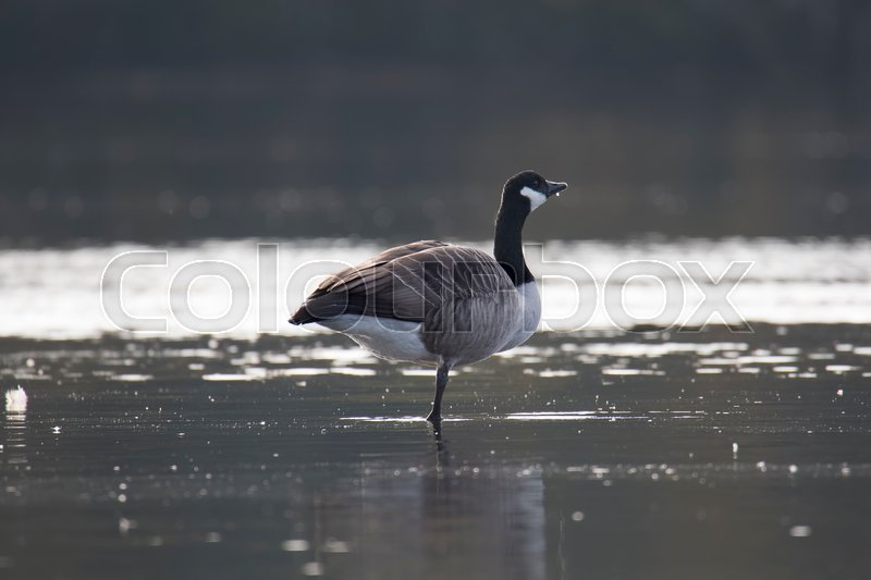 Canada Goose Standing on One Leg in water, stock photo