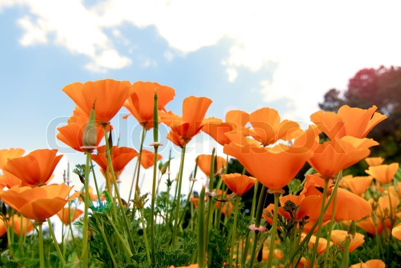 Orange Poppies Field shoot against blue sky with sun burst and lens flare effect, stock photo