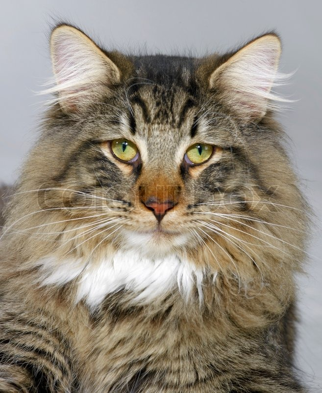 Portrait Of A Norwegian Forest Cat   Stock Image   Colourbox Portrait of a Norwegian Forest Cat   Stock image   Colourbox Kittens norwegian forest cat for sale