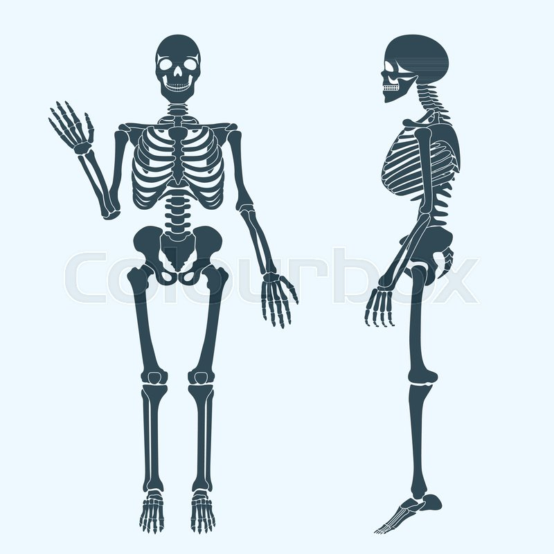 Human Bones Skeleton Silhouette Stock Vector Colourbox