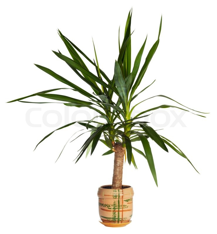 Yucca Plant Root Home Plant Quot Yucca