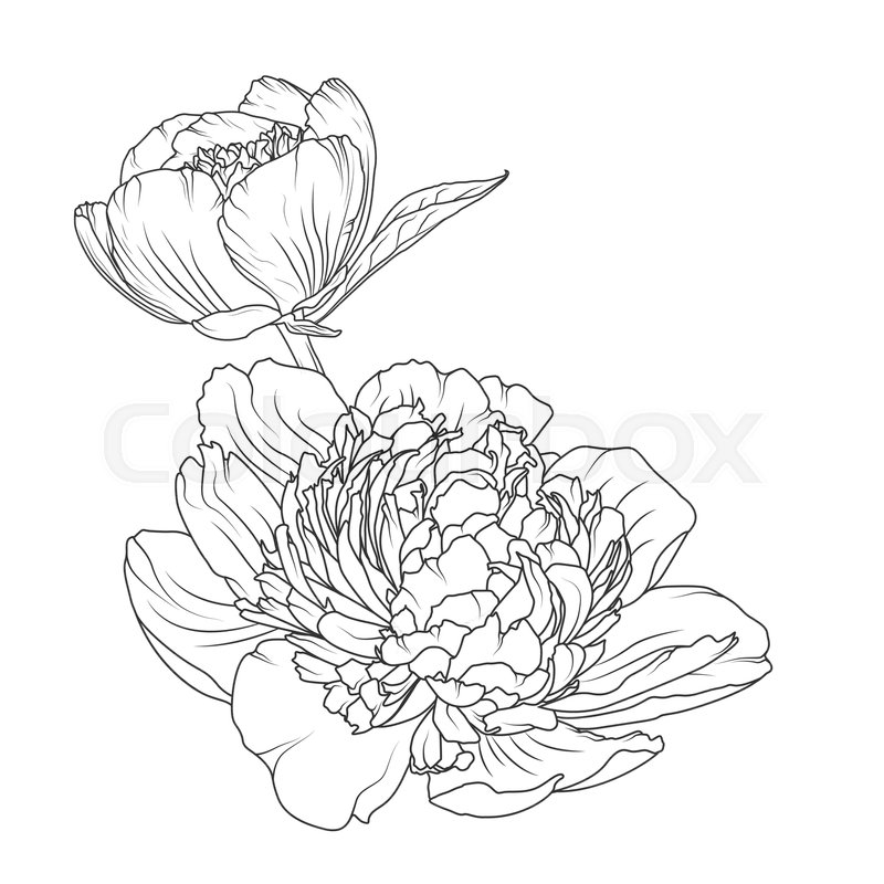 Peony Rose Blooming Garden Flowers Detailed Outline Sketch