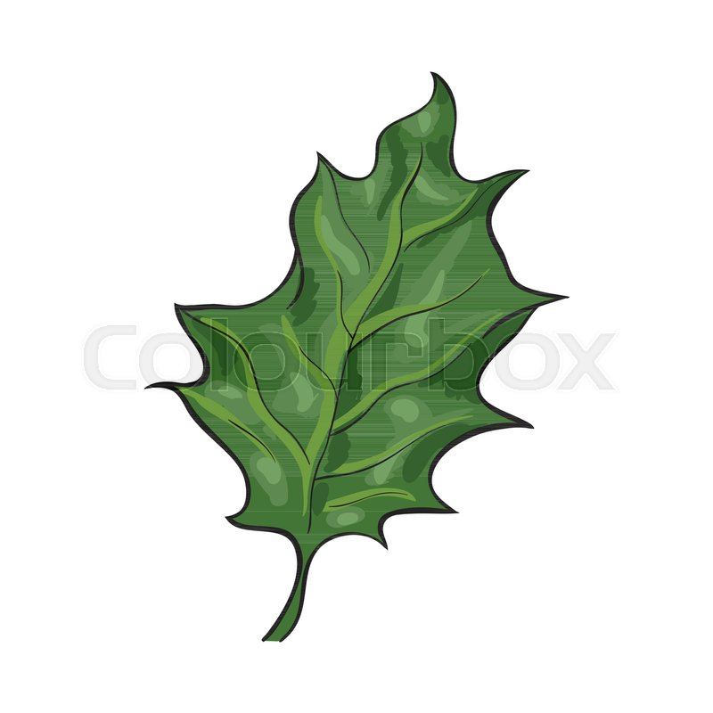 hand drawn green mistletoe leaf christmas decoration element sketch style vector illustration on white background realistic hand drawing of green